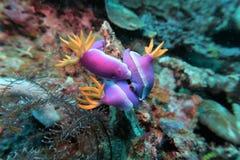 Nudibranch Hypselodoris purpurfärgad undervattens- 1 royaltyfri foto