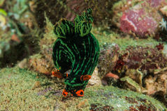 Free Nudibranch In Ambon, Maluku, Indonesia Underwater Photo Stock Image - 48027721