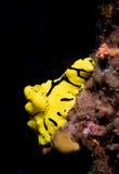 Nudibranch jaune de dorid Images libres de droits