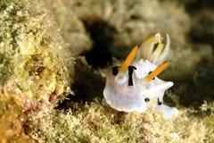 Nudibranch Kapalai ö, Sabah Royaltyfri Fotografi