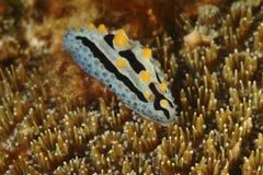 Nudibranch Kapalai ö, Sabah Royaltyfria Foton
