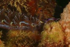Nudibranch Kapalai ö, Sabah Arkivfoto