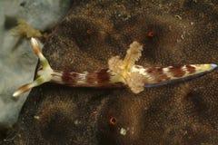 Nudibranch Kapalai ö, Sabah Arkivbilder