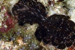 Nudibranch Kapalai ö, Sabah Arkivfoton