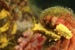 Nudibranch, Kapalai-Insel, Sabah Lizenzfreie Stockfotos