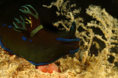 Nudibranch, Kapalai-Insel, Sabah Lizenzfreies Stockfoto