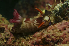 Nudibranch, Kapalai-Insel, Sabah Stockfotos