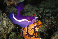 Nudibranch, Kapalai Island, Sabah Stock Images