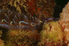 Nudibranch, Kapalai wyspa, Sabah Zdjęcie Stock