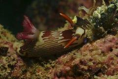 Nudibranch, Kapalai wyspa, Sabah Zdjęcia Stock