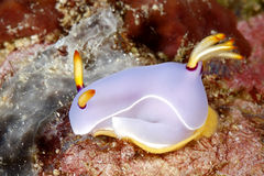 Nudibranch Laying Egg Ring Royalty Free Stock Photography