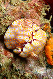 Nudibranch mating Royalty Free Stock Photography