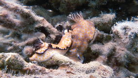 Nudibranch Mating While Walking Across Ocean Floor stock footage