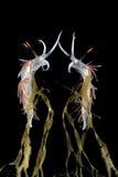 Nudibranch met bezinning Royalty-vrije Stock Foto's