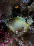 Nudibranch met macro onder het overzees stock foto's
