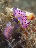 Nudibranch mexichromis macropus Stock Photography