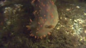 Nudibranch-Mollusken-wahre Seeschnecke auf dem Meeresgrund stock video