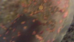 Nudibranch-Mollusken-wahre Seeschnecke auf dem Meeresgrund stock video footage