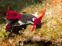 nudibranch nembrotha chamberlaini стоковое фото