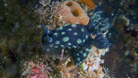 Nudibranch Nembrotha cristata or Crested Nembrotha. Nembrotha cristata or Crested Nembrotha, a type of nudibranch (sea slug) found off the coast of Komodo Stock Image