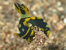 Nudibranch nembrotha kubaryana Stock Photography