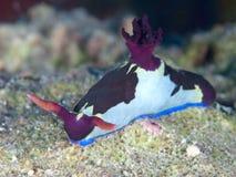 Nudibranch Nembrotha rutilans Stock Photography