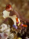 Nudibranch nembrotha rutilans. In molucca sea royalty free stock photo