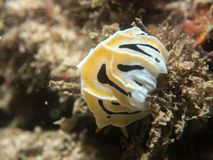 Nudibranch no coral Imagem de Stock Royalty Free