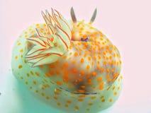 Nudibranch no fundo branco Fotos de Stock Royalty Free
