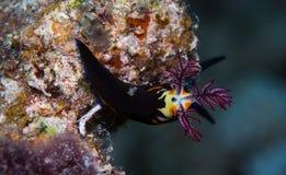 Nudibranch op de koralen Royalty-vrije Stock Afbeelding