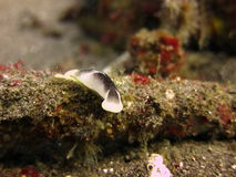 Nudibranch Philinopsis Royaltyfri Bild