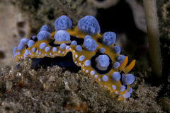 Nudibranch Phyllidia ocellata Stock Photography