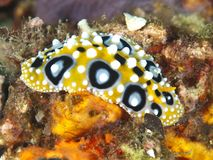 Nudibranch phyllidia ocellata Stock Images