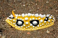 Nudibranch, Phyllidia-ocellata Tulamben, Bali, Indonesië Het Overzees van Bali, Indische Oceaan Royalty-vrije Stock Fotografie