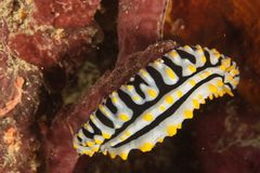 Nudibranch (Phyllidia varicosa) Stock Photography