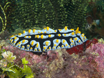 Nudibranch Phyllidia varicosa Stock Photography