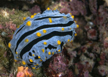 Nudibranch Phyllidia varicosa Royalty Free Stock Images