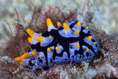 Nudibranch Phyllidia varicosa, detail view Stock Image