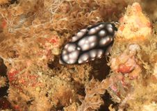 Nudibranch – Phyllidiella pustulosa Royalty Free Stock Images