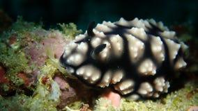 Nudibranch Phyllidiella sp2 в Anilao филиппинском стоковые фотографии rf
