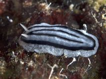 Nudibranch Phyllidiopsis xishaensis Stock Photos