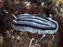 Nudibranch Phyllidiopsis xishaensis Stock Photos