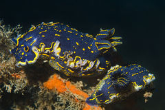 Nudibranch (picta de Hypselodoris) Fotografia de Stock Royalty Free