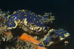 Nudibranch (picta Hypselodoris) Royalty-vrije Stock Fotografie