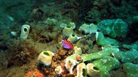 Nudibranch porpora Fotografia Stock Libera da Diritti