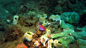 Nudibranch pourpre Photo libre de droits