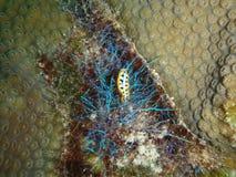 Nudibranch que rasteja sobre algas iridescentes Foto de Stock