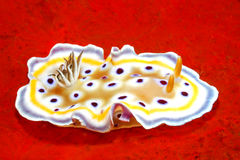 Nudibranch on Red Sponge Stock Images