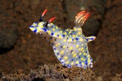 Nudibranch, roo Hypselodoris στοκ φωτογραφίες με δικαίωμα ελεύθερης χρήσης