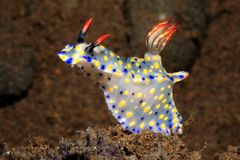 Nudibranch, roo Hypselodoris стоковые фотографии rf
